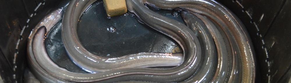Eel...still alive
